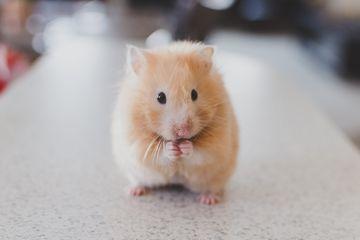 Mengapa Hamster Bisa Menyimpan Banyak Makanan Di Pipinya