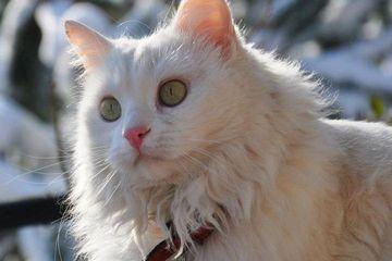 Kucing Anggora Asli Asalnya Dari Mana Ya Ini Fakta Kucing Anggora Semua Halaman Bobo