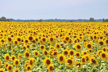 Awalnya Ditanam Sebagai Penghasil Makanan Cari Tahu Fakta Seru Bunga Matahari Yuk Semua Halaman Bobo