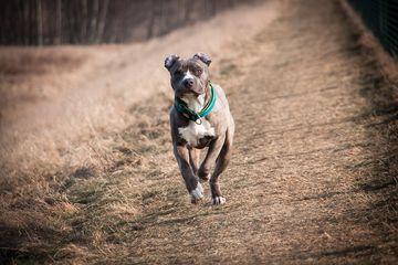 Anjing Pitbull Dikenal Galak Namun Sebenarnya Anjing Ini Penyayang Semua Halaman Bobo