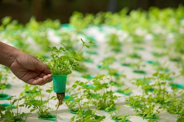 Tumbuhan Monokotil Ciri Ciri Jenis Dan Contoh Yang Sering Ditemui Di Sekitar Kita Bobo