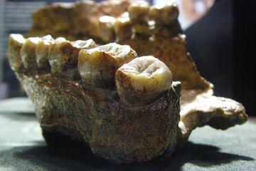 60 Persen Fosil Manusia Purba Ternyata Ditemukan Di Indonesia Bobo