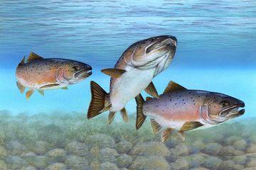 Siklus Hidup Salmon, Ikan Laut yang Lahir di Sungai - Semua Halaman - Bobo