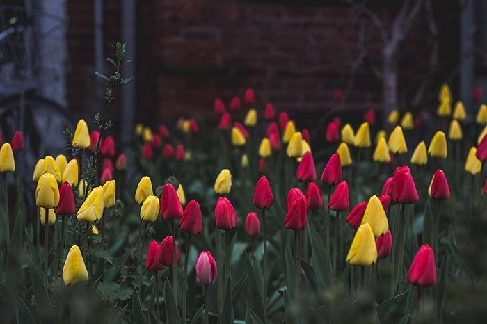 Ilustrasi bunga tulip yang tertutup