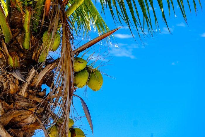 Buah kelapa.