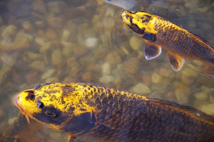 Inilah 5 Jenis Ikan Koi Yang Sangat Populer Kamu Suka Yang Mana Semua Halaman Bobo