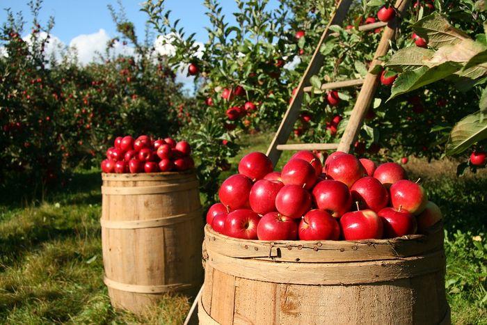 Ilustrasi kebun apel
