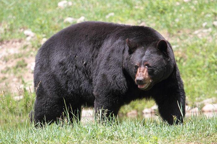 Beruang hitam amerika
