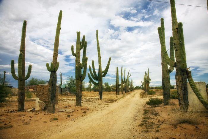 Poste de cerca mexicano cactus tipo cactus también se puede plantar en macetas
