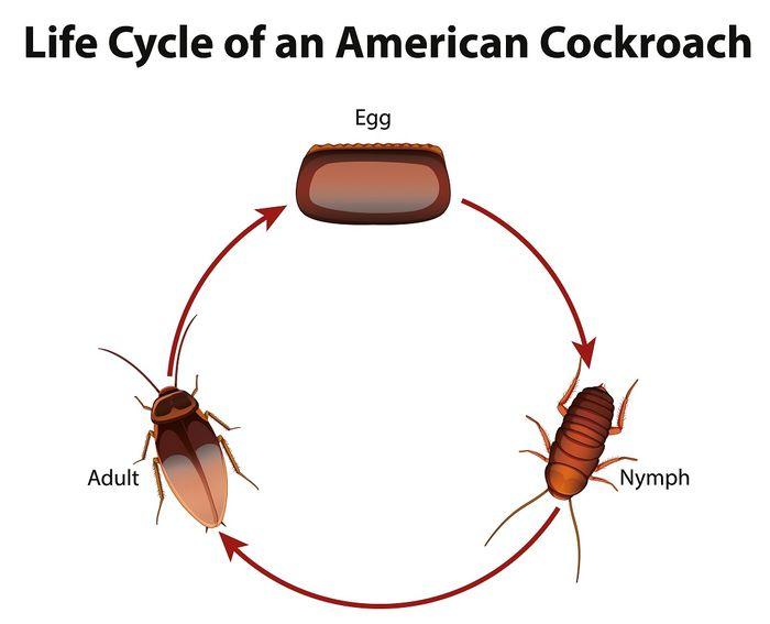 Siklus hidup kecoa, contoh metamorfosis yang tidak sempurna