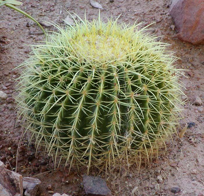 Los cactus de barril, incluidos los cactus, se pueden plantar en macetas.