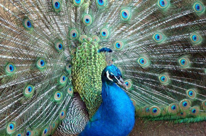 80 Koleksi Gambar Burung Merak Dan Cendrawasih HD