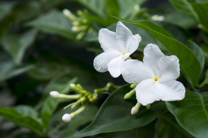 Ternyata Bunga Melati Dijadikan Bunga Nasional Di Beberapa Negara