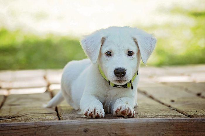 Apakah Anjing Benar-benar Merasa Bersalah Saat Tunjukkan