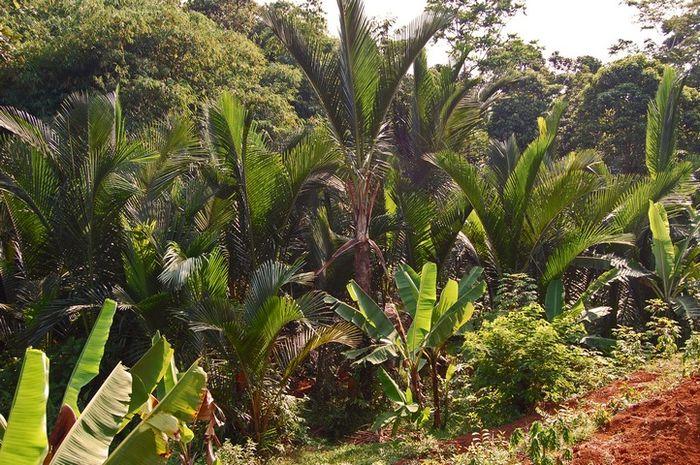 Pohon Sagu Penghasil Makanan Pokok Di Indonesia Timur Pernah