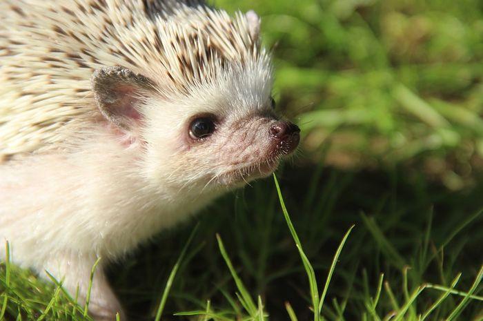 Perbedaan hedgehog dan porcupine