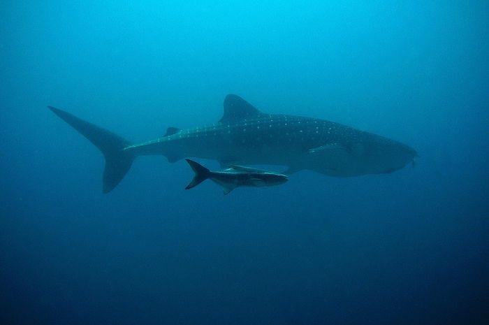 84 Gambar Ikan Hiu Bertelur Gratis