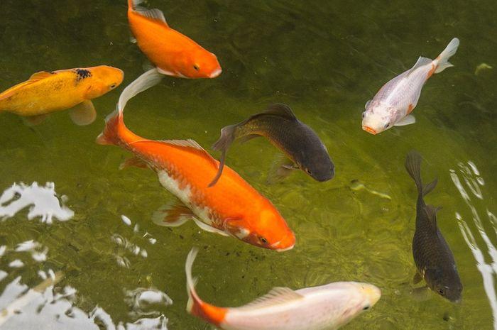 Bagaimana Tips Budidaya Ikan Mas Agar Menghasilkan Panen Yang Melimpah Semua Halaman Bobo