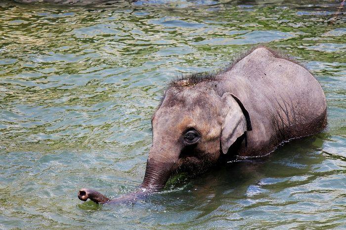 Gajah Berukuran Sangat Besar Apakah Ia Akan Tenggelam Di Air