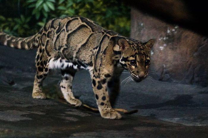 76 Gambar Hewan Macan Dahan HD Terbaru