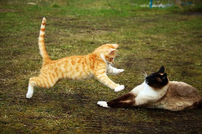Kucing Sering Berkelahi Ada 4 Fakta Di Balik Perkelahian Kucing