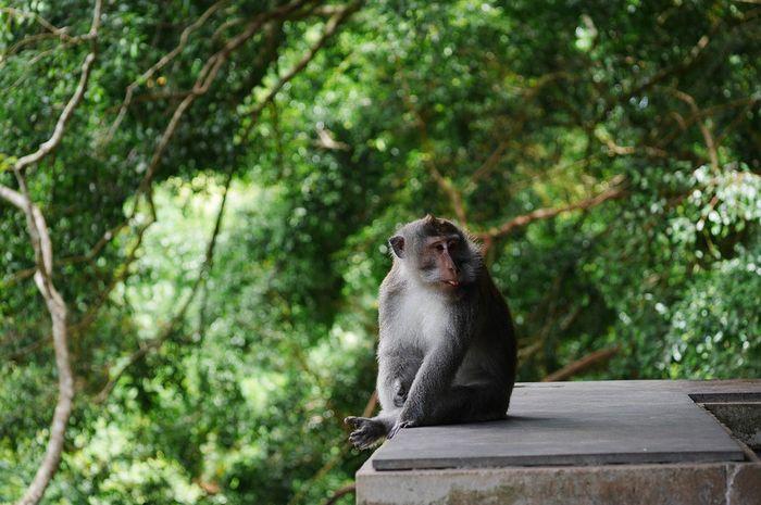 Ingin Berkunjung Ke Monkey Forest Ubud Di Bali Patuhi 7 Hal