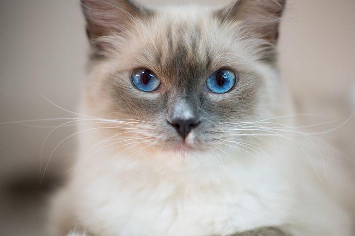 Suka Kucing Bermata Biru Kenali 3 Penyebab Mata Kucing Berwarna Biru Yuk Semua Halaman Bobo