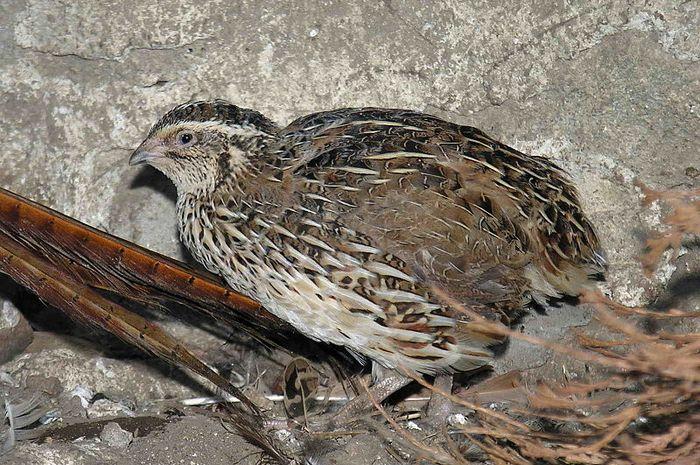 Meski Bisa Terbang Burung Ini Lebih Suka Di Darat Burung Apa Ya