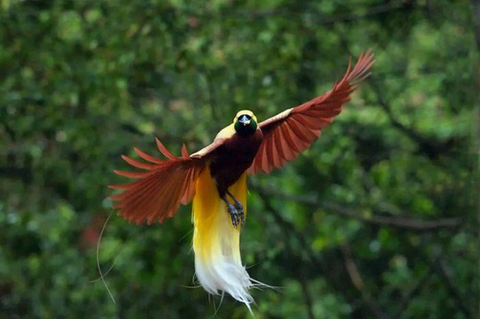 Cenderawasih Kuning Sang Burung Surga Semua Halaman Bobo Grid Id