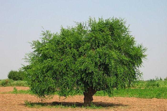 Siwak Pohon Kayu Ajaib Semua Halaman Bobo Grid Id