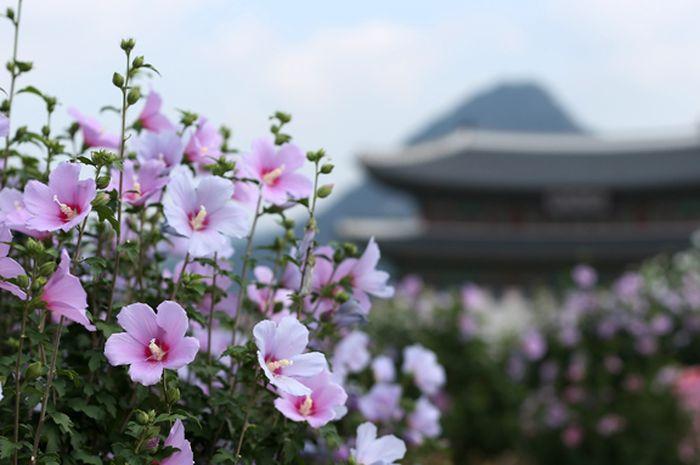 Mugunghwa Bunga Nasional Yang Indah Dari Korea Selatan Semua