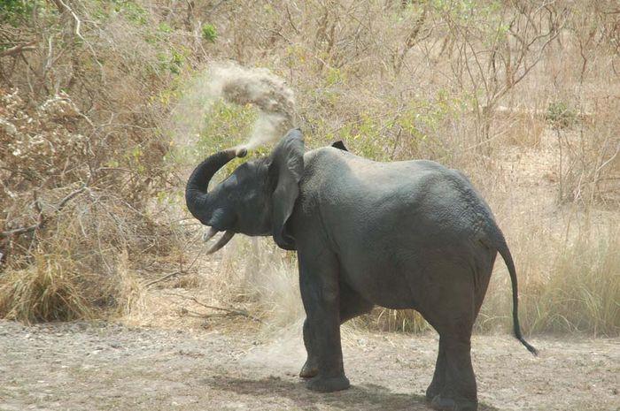 Begini Cara Gajah Mendinginkan Badan Bobo