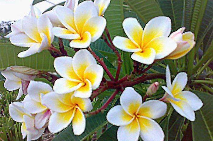 Bunga Kamboja Cantik Tapi Ditakuti Semua Halaman Bobo