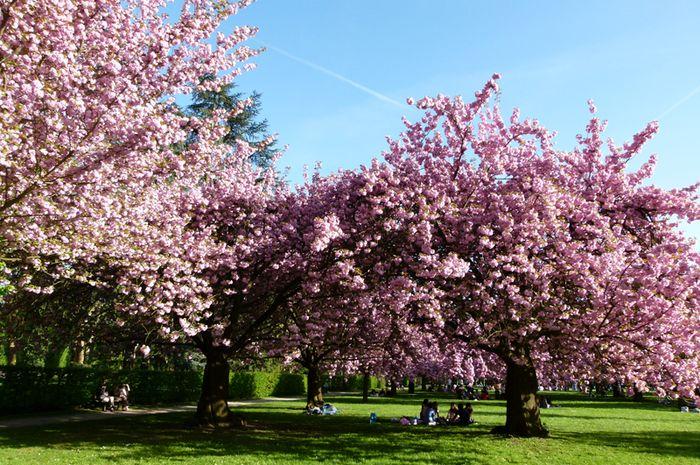 menikmati keindahan bunga sakura di kebun raya cibodas jawa barat rh bobo grid id
