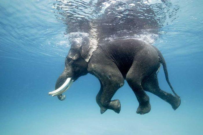 Jangan Tertipu Gajah Adalah Perenang Ulung Semua Halaman Bobo