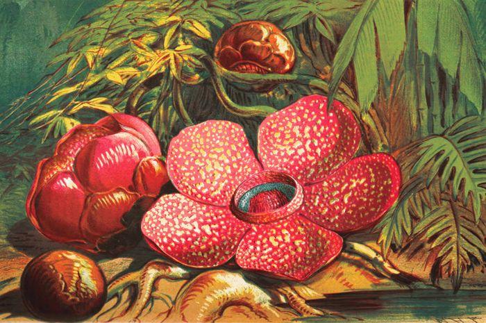 Unduh 760+ Gambar Bunga Rafflesia HD Terbaik