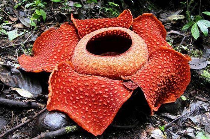 Unduh 83 Gambar Bunga Rafflesia Beserta Keterangannya Paling Cantik
