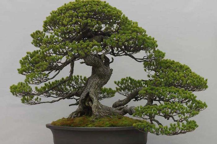 Bonsai Pohon Mini Yang Cantik Semua Halaman Bobo Grid Id