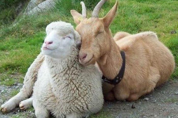 Hasil gambar untuk domba dan kambing