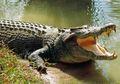 Miris! Pria Nahas Ini Diterkam Buaya Saat Sedang Mandi di kolam