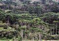 Hutan Araucaria, 'Fosil Hidup' yang Ditanam Manusia Kuno Amerika