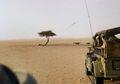 Pohon Tenere, Pohon Paling Kesepian di Dunia