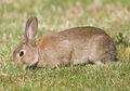 Kelinci Lop, Sudah Jadi Peliharaan Sejak Ribuan Tahun yang Lalu