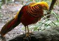 Ayam Pegar Emas , Hewan Berbulu Indah yang Banyak Diburu