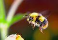 Bumblebee, 1 dari 250 Spesies Lebah yang Masih Bertahan di Bumi