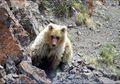 """Diduga Punah Sejak Abad 20, Beruang 'Mistis"""" Sailugem Muncul Kembali"""