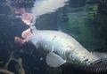 Arapaima Gigas, Ikan Asli Brazil yang Sudah Hidup Sejak Zaman Jurassic