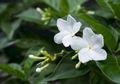 Ternyata, Bunga Melati Dijadikan Bunga Nasional di Beberapa Negara