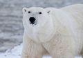 Ternyata Warna Bulu Beruang Kutub Bukan Putih, Lo, Teman-teman!