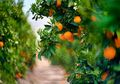 Ternyata Banyak Buah yang Mengandung Vitamin C Lebih Tinggi dari Jeruk